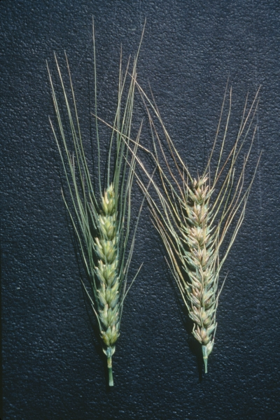Common and Dwarf Bunt