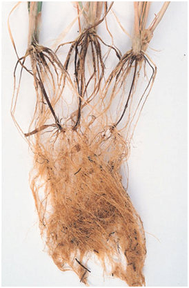 Common Root Rot